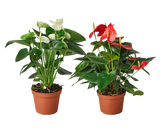 Live Anthurium Flowering houseplants for sale
