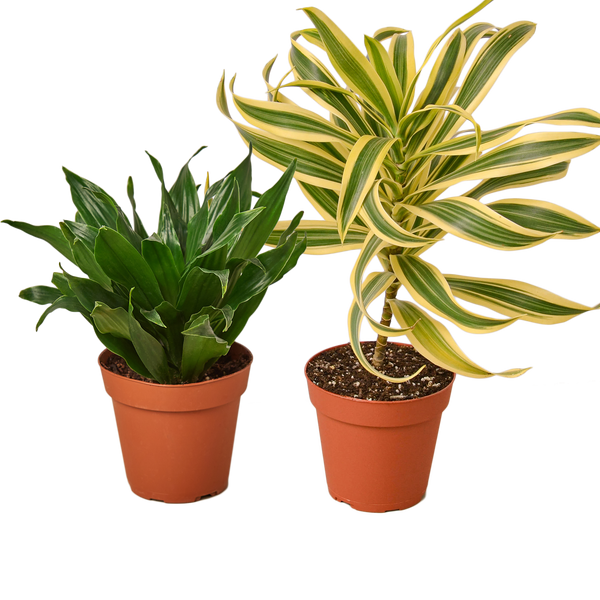 Live Dracaena air purifying houseplants for sale
