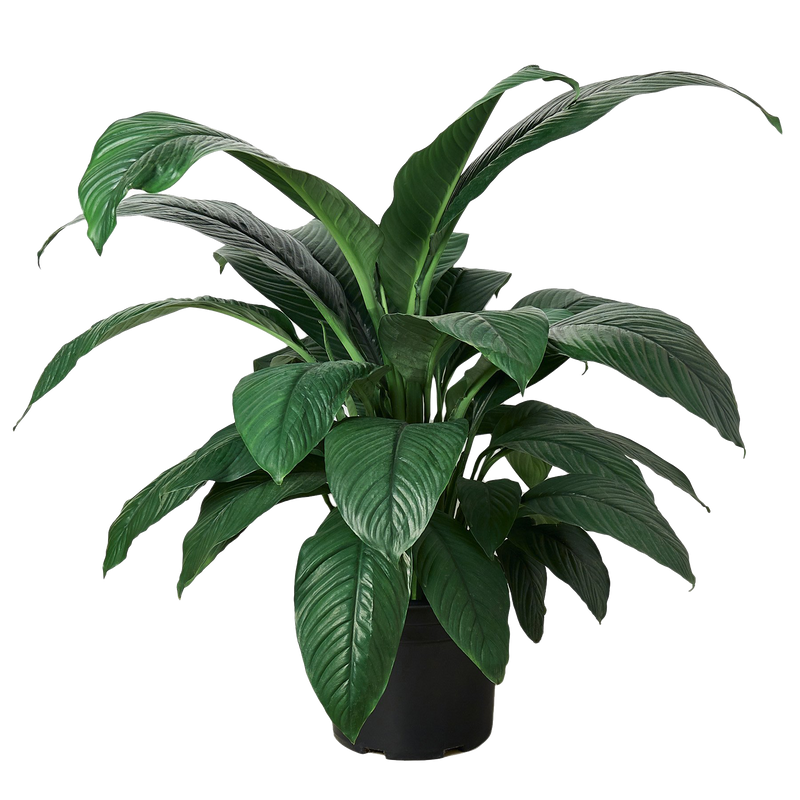 Extra large peace lily houseplant for low light spaces.