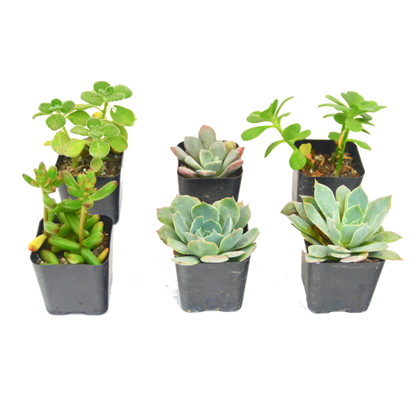 "2"" DIY Succulent variety pack assortment 6 Pack"