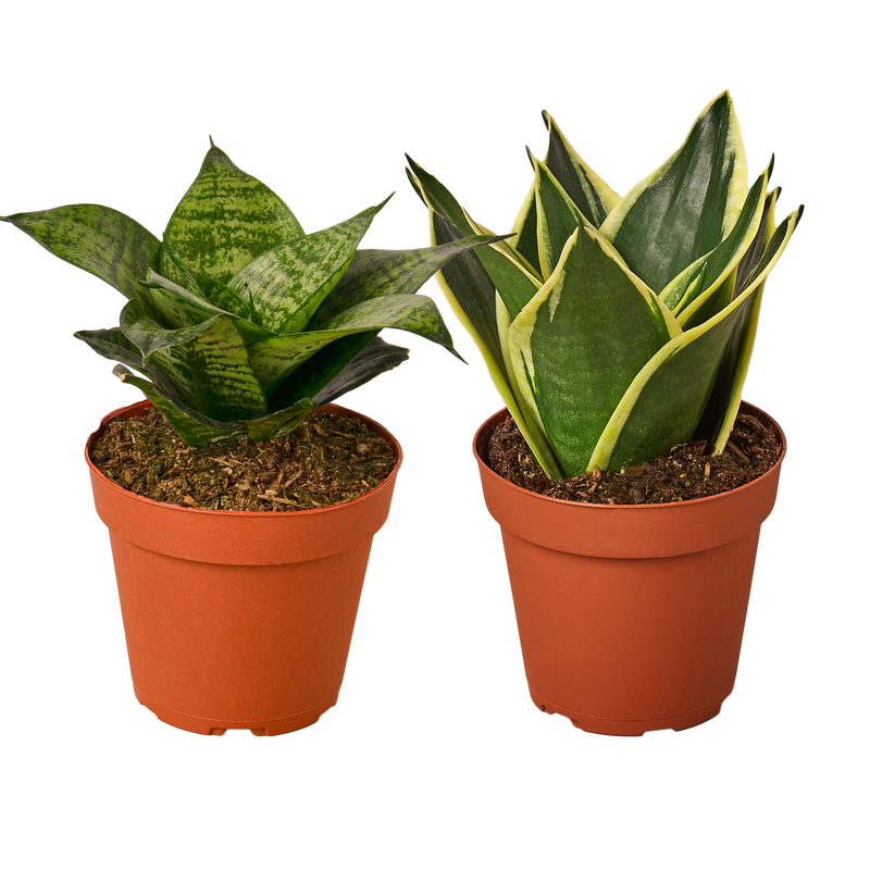 Live Sanseveria Snake Plants for sale, variety pack
