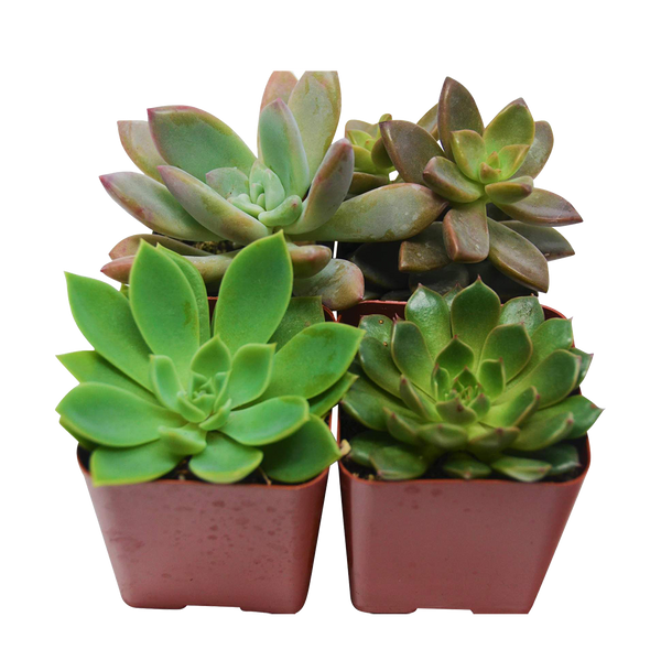 "2"" Succulent Variety pack assortment"