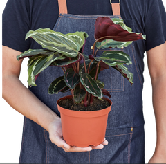 Low maintenance Calathea Houseplants