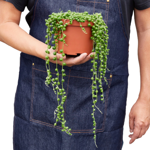 String of Pearls hanging succulent plants