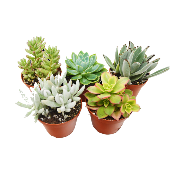 "4"" Succulent Variety 2-Pack"
