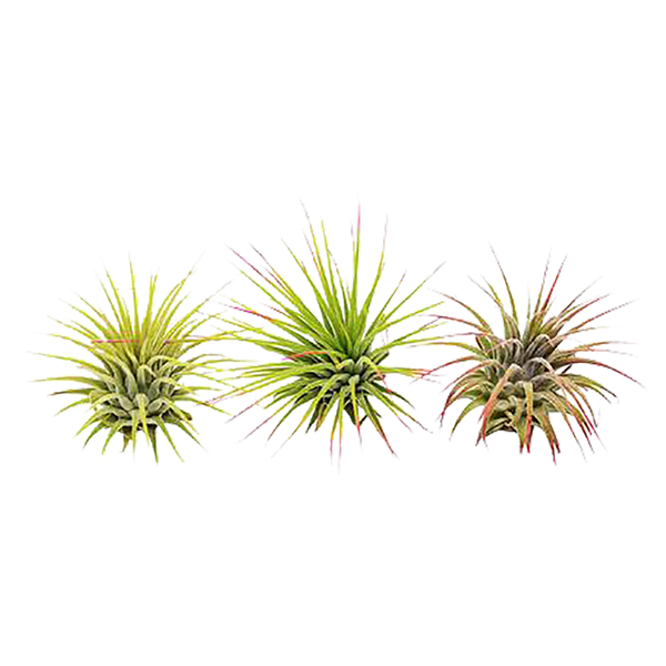 Ionantha Guatemala Air Plants Variety Pack
