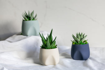 Pre-Potted Haworthia Succulent Plants - Cerulean Clouds Collection