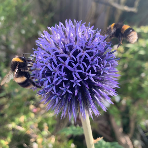 Bees on Echinops