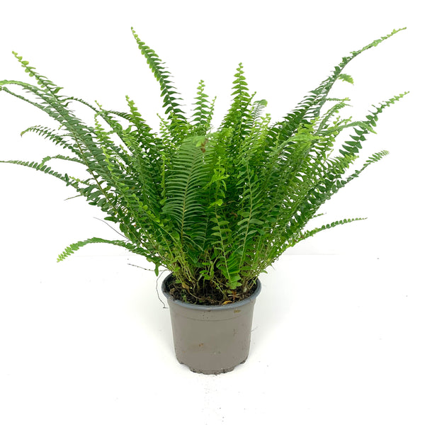 Sword fern (Boston fern)