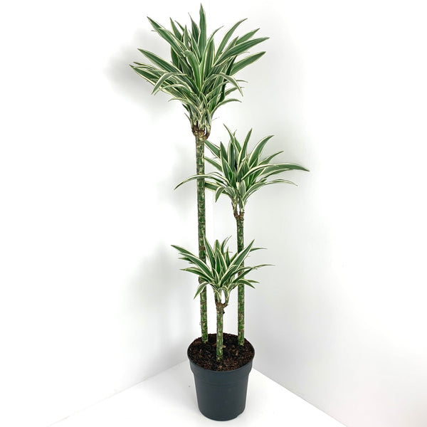 Dragon tree - 3 stems