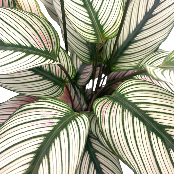 Zebra plant (Prayer plant)