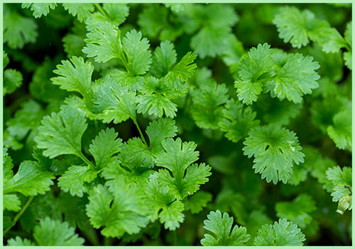 Dhaniya / Coriander  (Price per 100 gms) - FAST AND FRESH  GLOBAL LLP