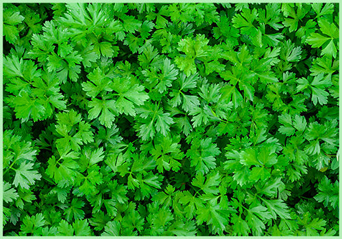 Parsley (Price per 100 gms) - FAST AND FRESH  GLOBAL LLP