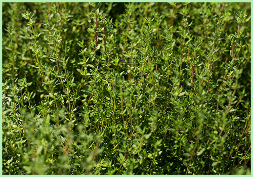 Thyme (Price per 100 gms) - FAST AND FRESH  GLOBAL LLP