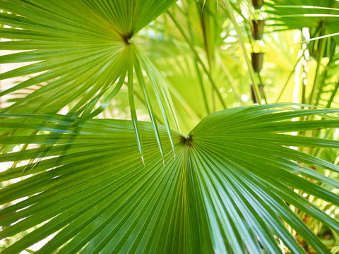Image of palm leaves