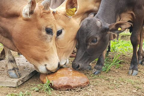 Cows Eating 1