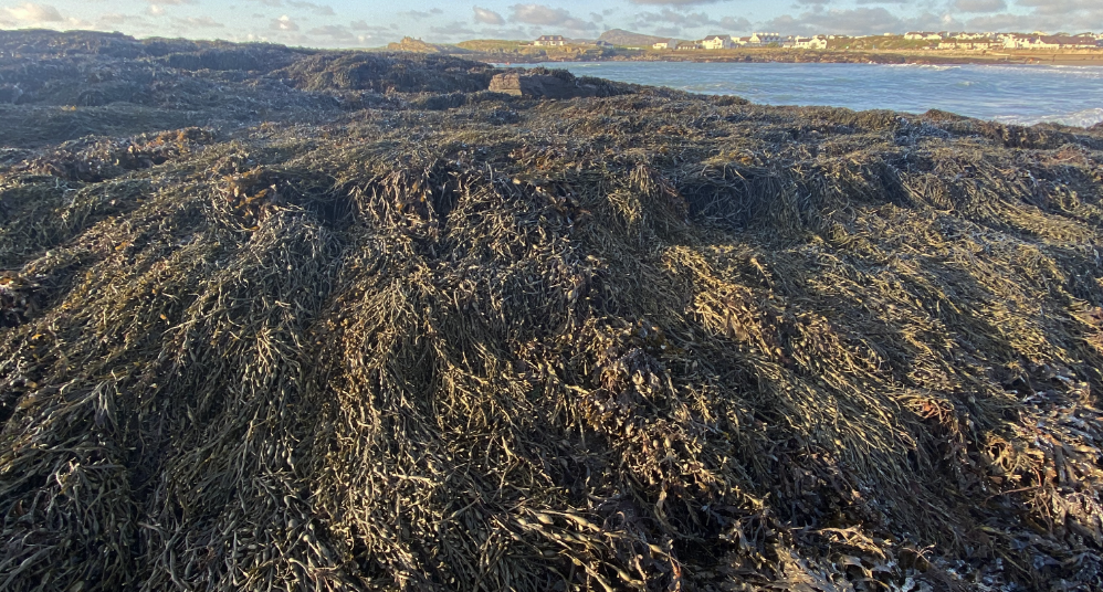 Our clothing uses bladder wrack seaweed which is found commonly throughout the Atlantic coast