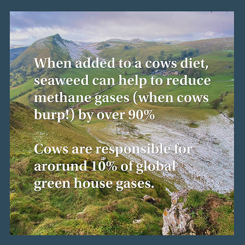 Seaweed reducing methane in cows