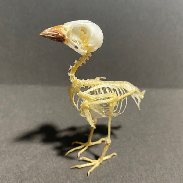 Eurasian Tree Sparrow Skeleton