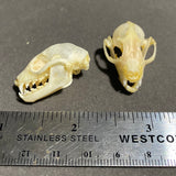 Short-Nosed Fruit Bat Skull