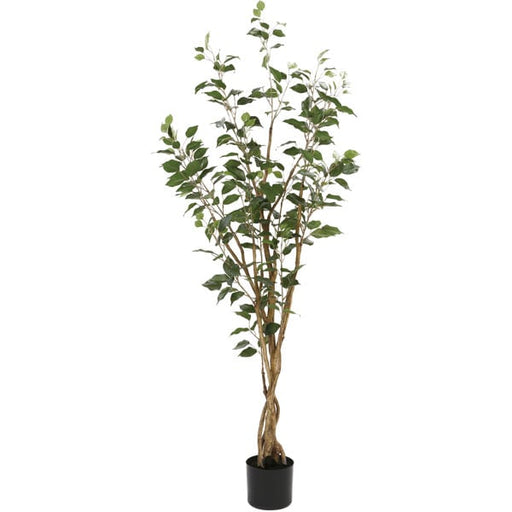 150CM New Ficus with plastic pot OS605/5/352