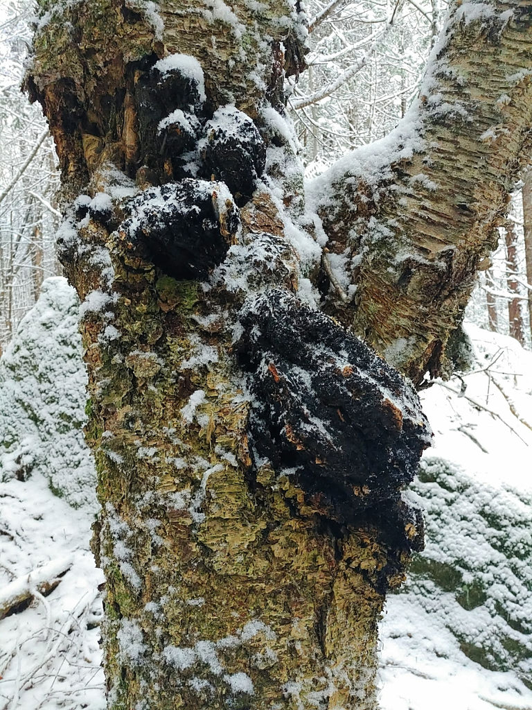 The Benefits of Chaga Mushroom - Traditional Medicine and Modern Day Superfood