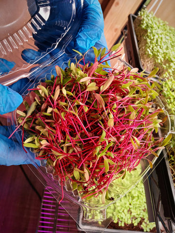 Organic Beet Microgreens - By Leaf Sweets