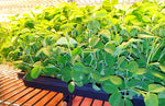 Organic Pea Shoot Microgreens - By Leaf Sweets