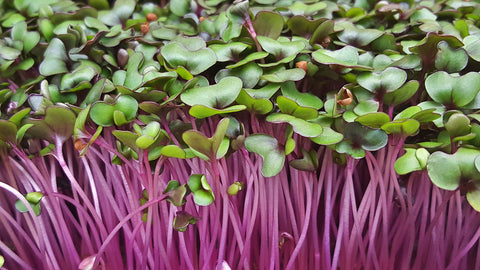 Organic Red Cabbage Microgreens - By Leaf Sweets