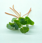 Organic Buckwheat Microgreens - By Leaf Sweets