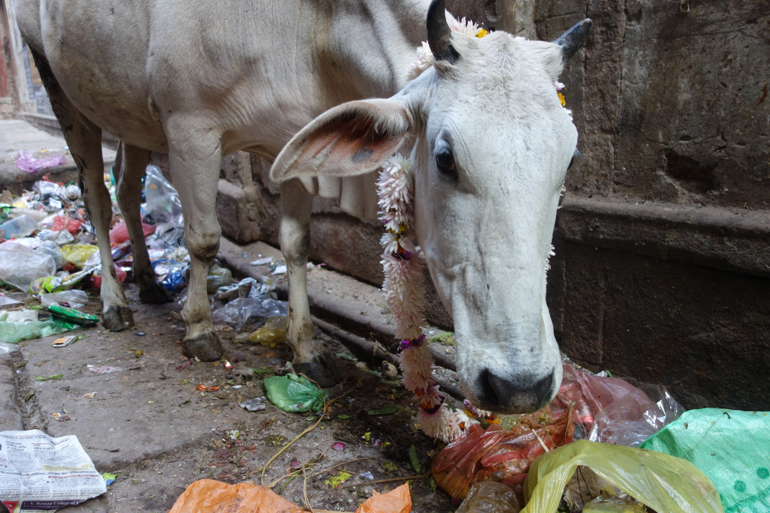 Holy hungry cow in Varanasi