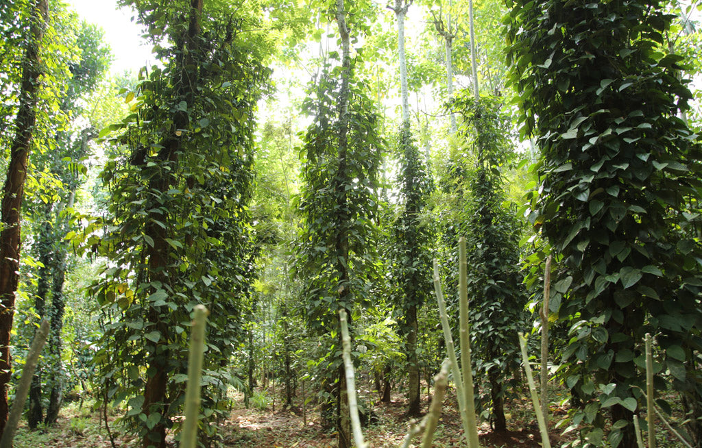 Pepper vines in the jungles of Kerala