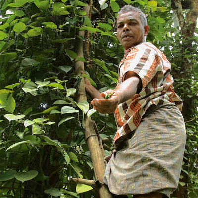 Farmer picking peppercorns in Kerala India