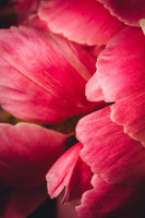 Pink Feathers - Flowers In Print - Fine Art Wall Print