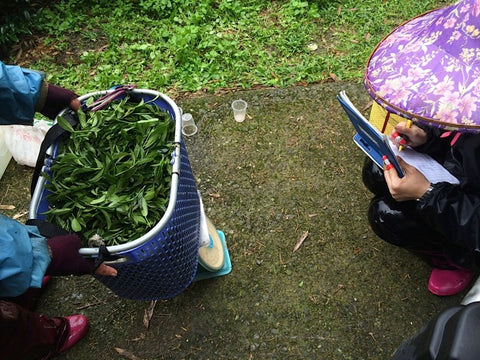 Harvesting High Mountain Tea