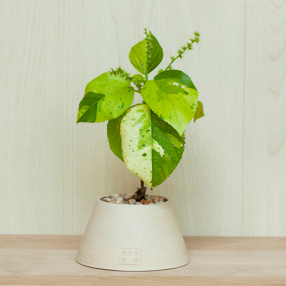 Variegated Acalypha Lime Green