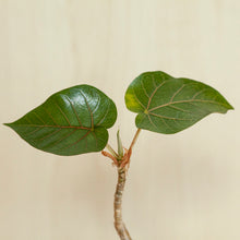Load image into Gallery viewer, Ficus Petiolaris