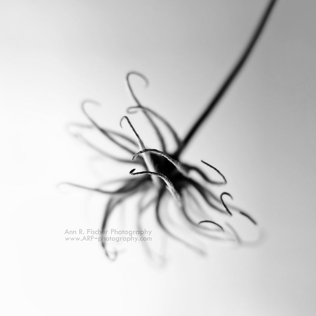 Clematis Flower Tendrils, Black and White, Chihuly-Style