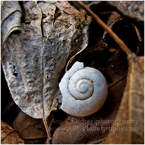 Snail Shell and Leaf