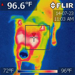 FLIR image of the Black Dog
