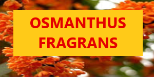 OSMANTHUS FRAGRANS  UP TO 50ML NIC SALT