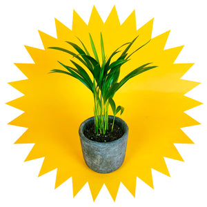 Areca Palm Mini