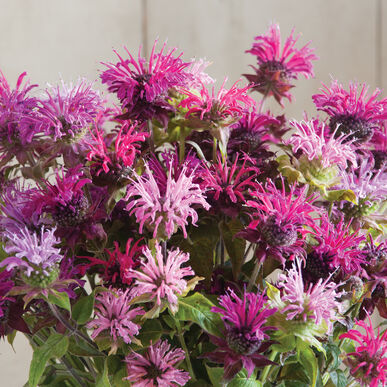 Bee Balm, Oswego Tea 'Panorama Mix' (Monarda didyma)