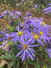 Aster, Large Flower  (Symphyotrichum grandiflorum)
