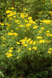 Coreopsis, Greater Tickseed (Coreopsis major)