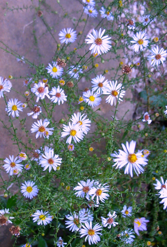 Aster, Rice Button (Symphyotrichum dumosum)