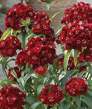 Sweet William, Black Cherry