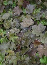 Alumroot, Hairy 'Bronze Wave' (Heuchera villosa)