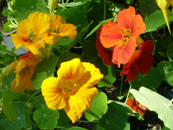 Nasturtium, Mixed (Our choice)
