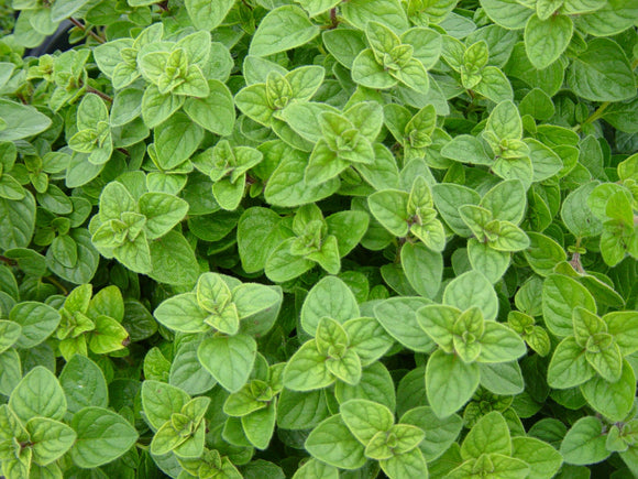 Oregano, Greek (Origanum vulgare)